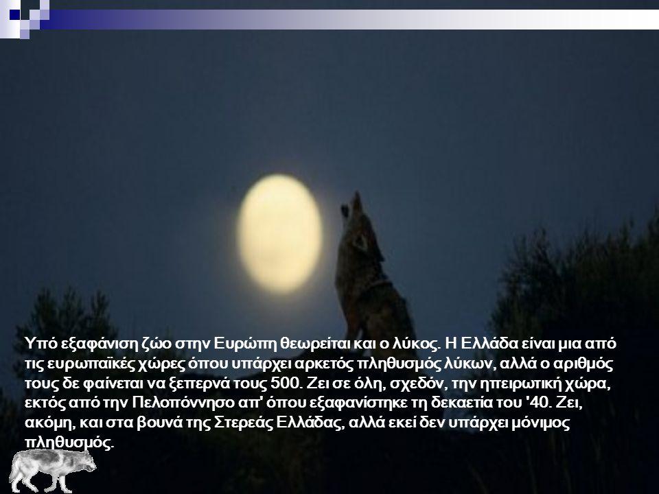 Υπό εξαφάνιση ζώο στην Ευρώπη θεωρείται και ο λύκος