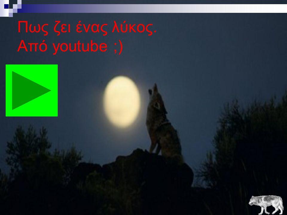 Πως ζει ένας λύκος. Από youtube ;)