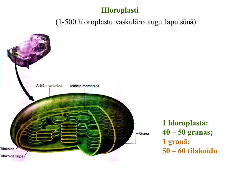 (1-500 hloroplastu vaskulāro augu lapu šūnā)