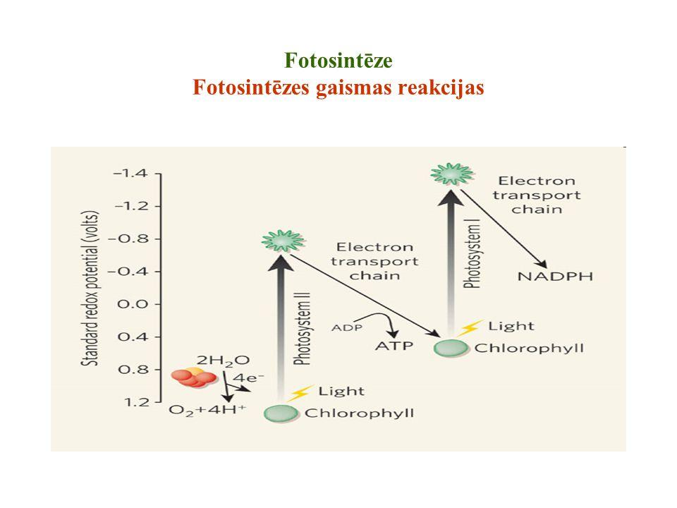 Fotosintēze Fotosintēzes gaismas reakcijas