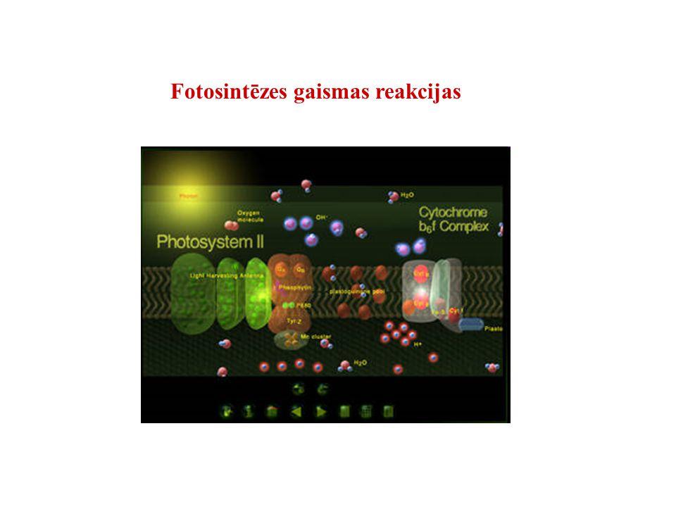 Fotosintēzes gaismas reakcijas