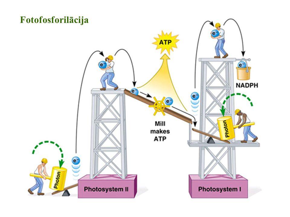 Fotofosforilācija