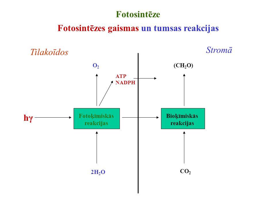 Fotosintēzes gaismas un tumsas reakcijas