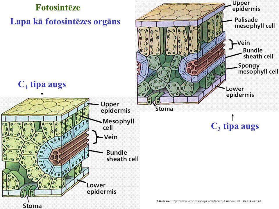 Lapa kā fotosintēzes orgāns