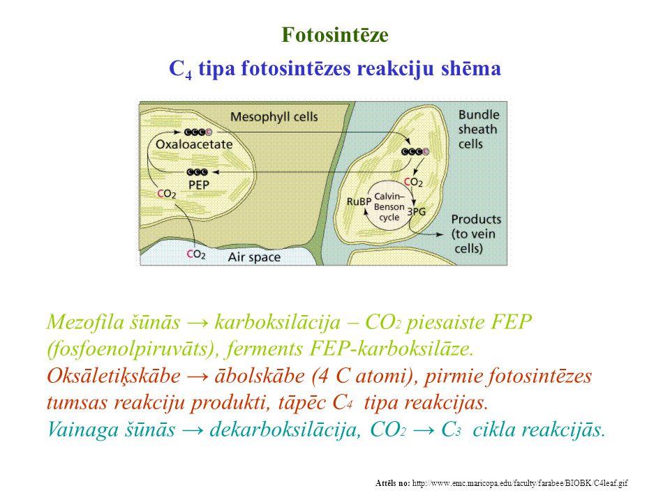 C4 tipa fotosintēzes reakciju shēma