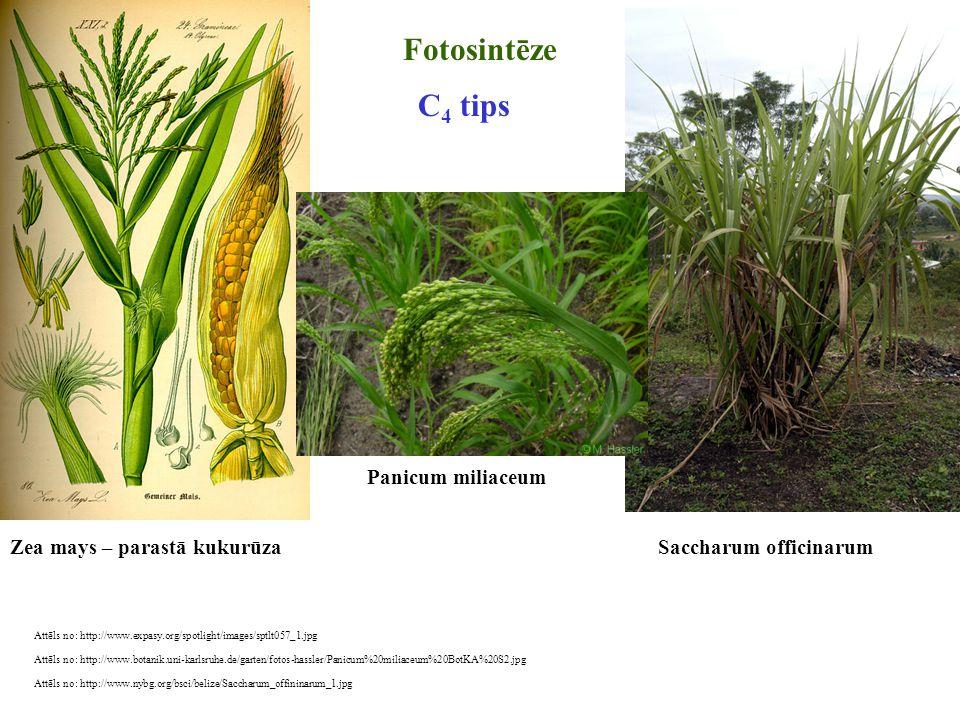 Fotosintēze C4 tips Panicum miliaceum Zea mays – parastā kukurūza