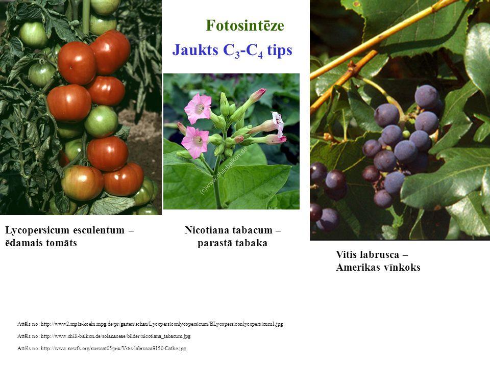 Fotosintēze Jaukts C3-C4 tips Lycopersicum esculentum – ēdamais tomāts