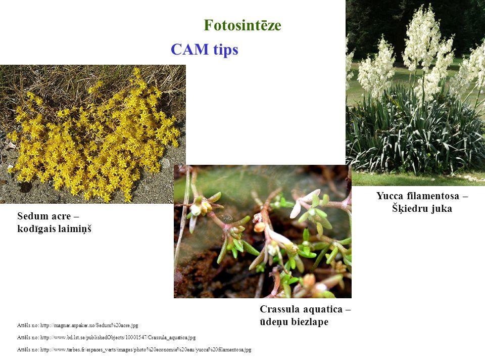 Fotosintēze CAM tips Yucca filamentosa – Šķiedru juka Sedum acre –