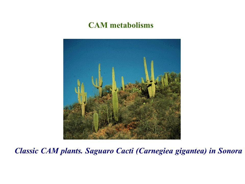CAM metabolisms Classic CAM plants. Saguaro Cacti (Carnegiea gigantea) in Sonora