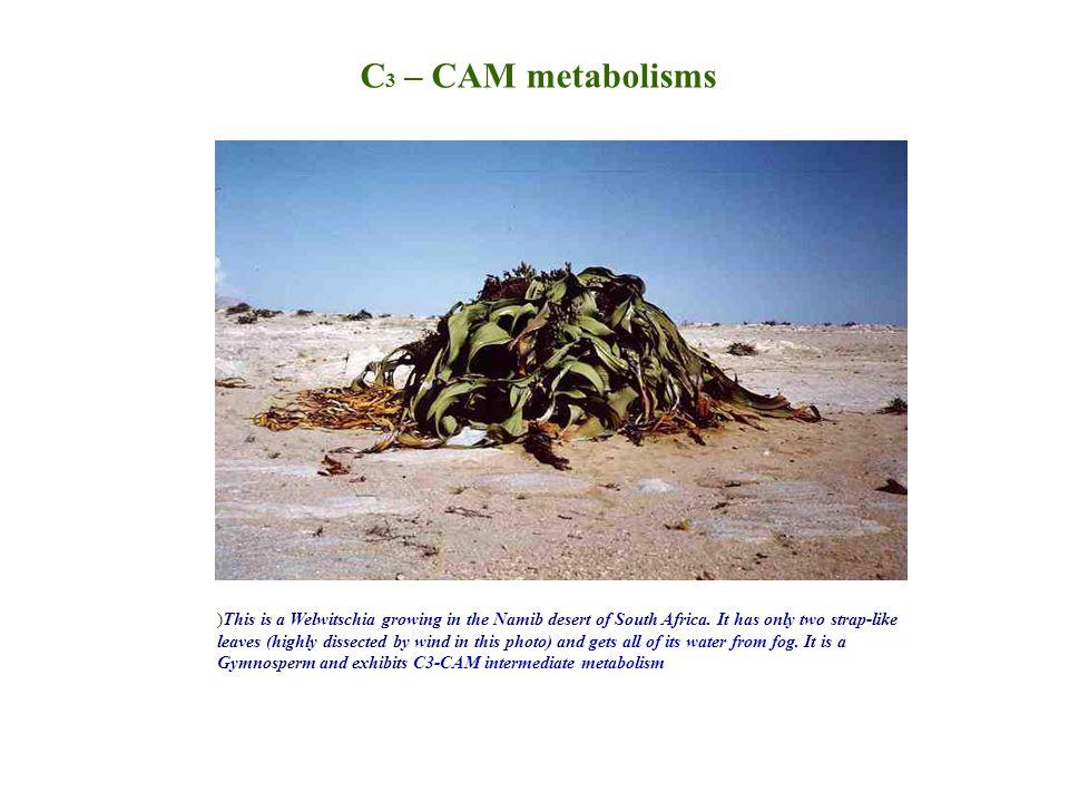 C3 – CAM metabolisms