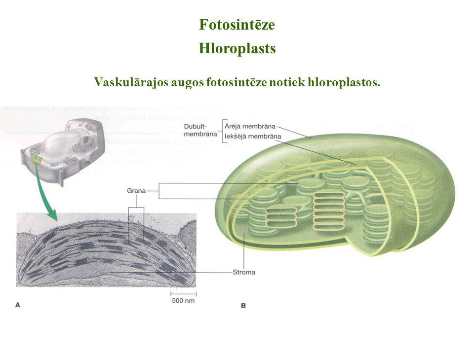 Vaskulārajos augos fotosintēze notiek hloroplastos.