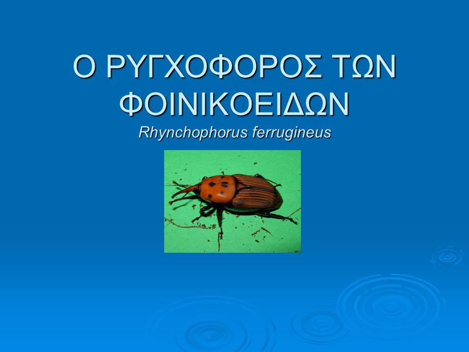 Ο ΡΥΓΧΟΦΟΡΟΣ ΤΩΝ ΦΟΙΝΙΚΟΕΙΔΩΝ Rhynchophorus ferrugineus