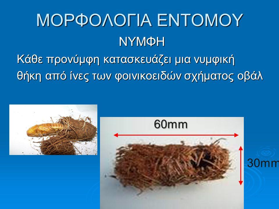 ΜΟΡΦΟΛΟΓΙΑ ΕΝΤΟΜΟΥ ΝΥΜΦΗ 60mm 30mm