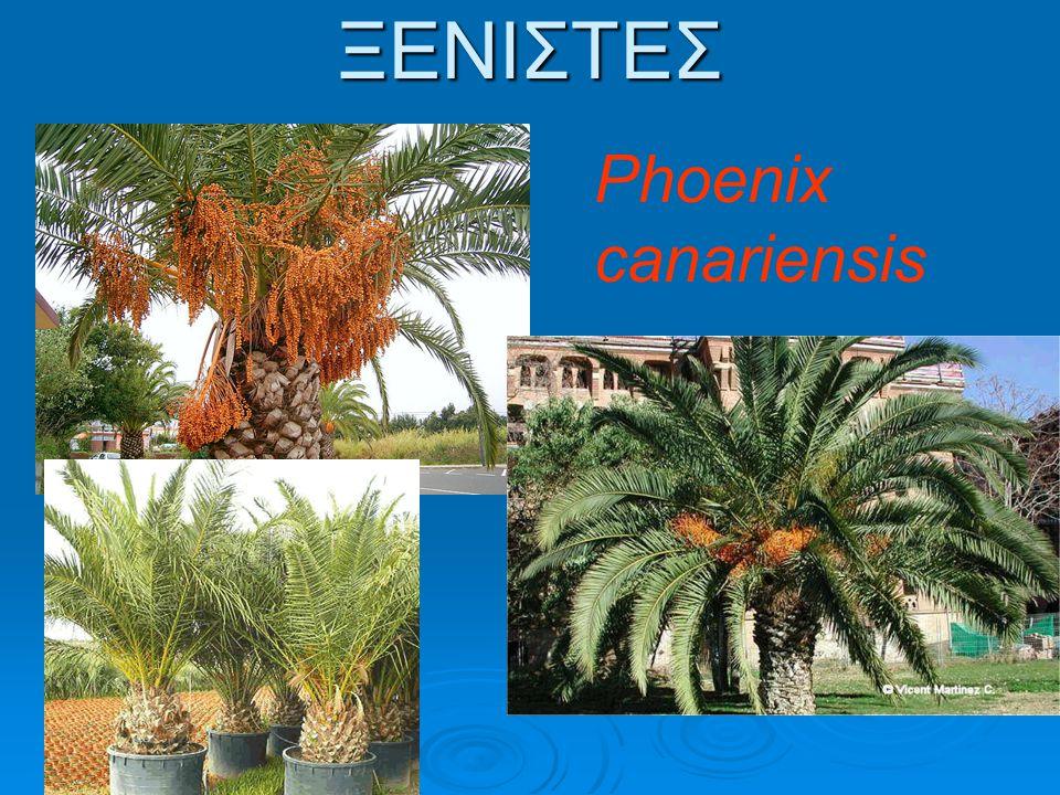ΞΕΝΙΣΤΕΣ Phoenix canariensis