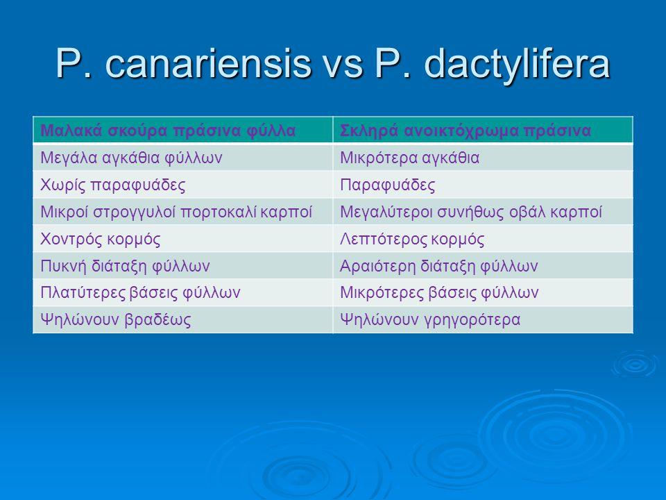 P. canariensis vs P. dactylifera