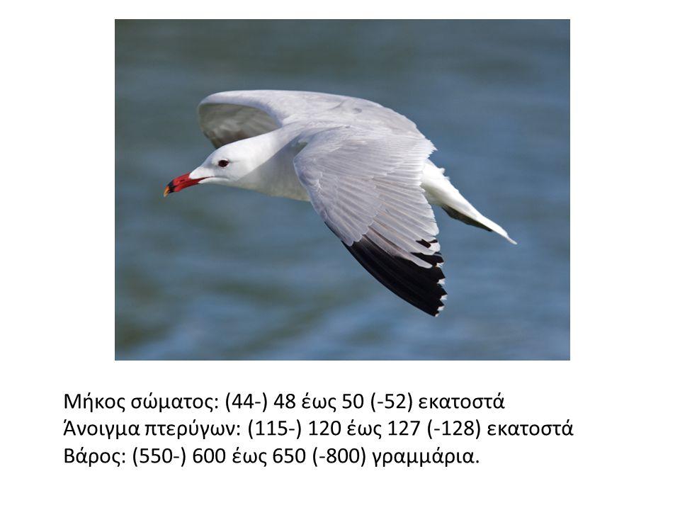 Μήκος σώματος: (44-) 48 έως 50 (-52) εκατοστά