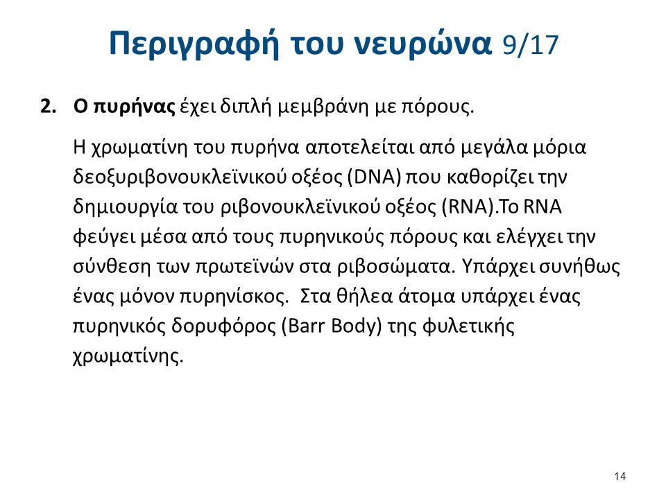 Περιγραφή του νευρώνα 10/17