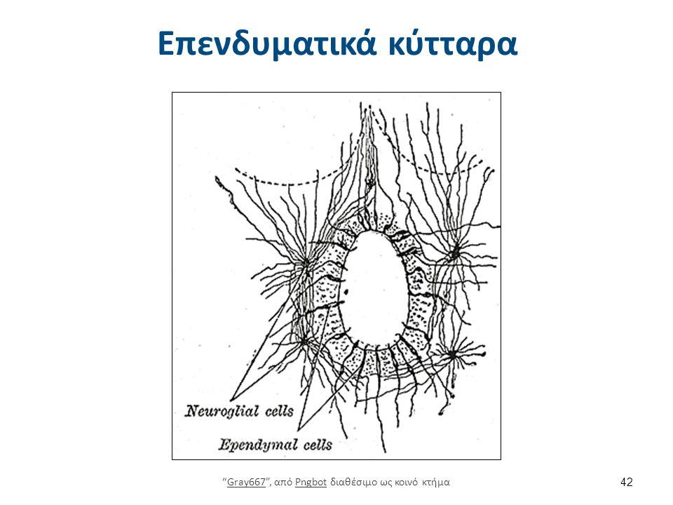 Αστροκύτταρα, ολιγοδενδροκύτταρα, μικρογλοία και επένδυμα 2/2