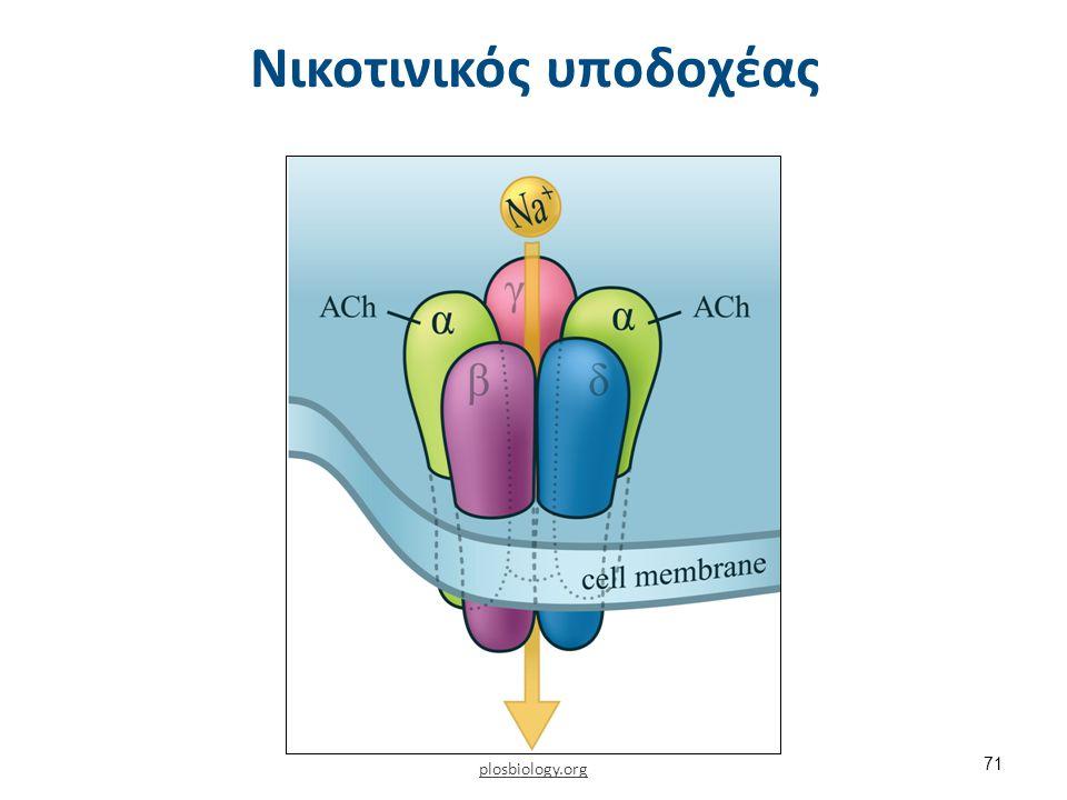 Ακετυλοχολίνη και δράση της στην τελική κινητική πλάκα