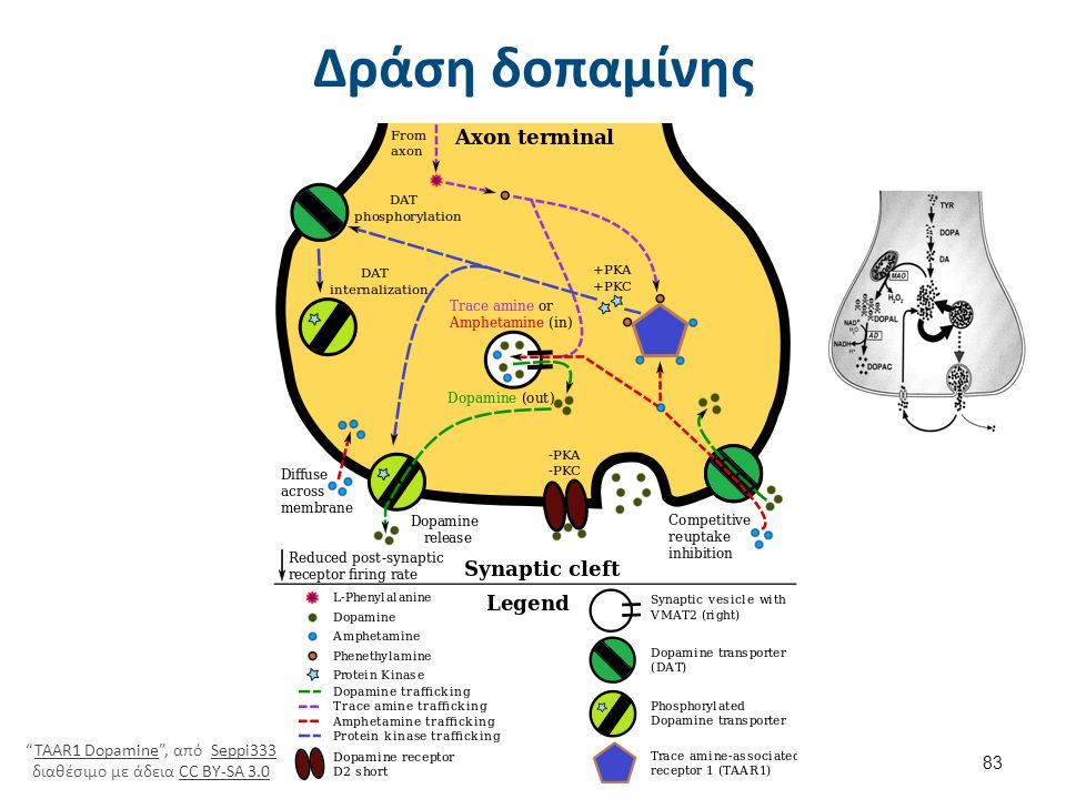 Δράση δοπαμίνης στους υποδοχείς της στην μετασυναπτική μεμβράνη