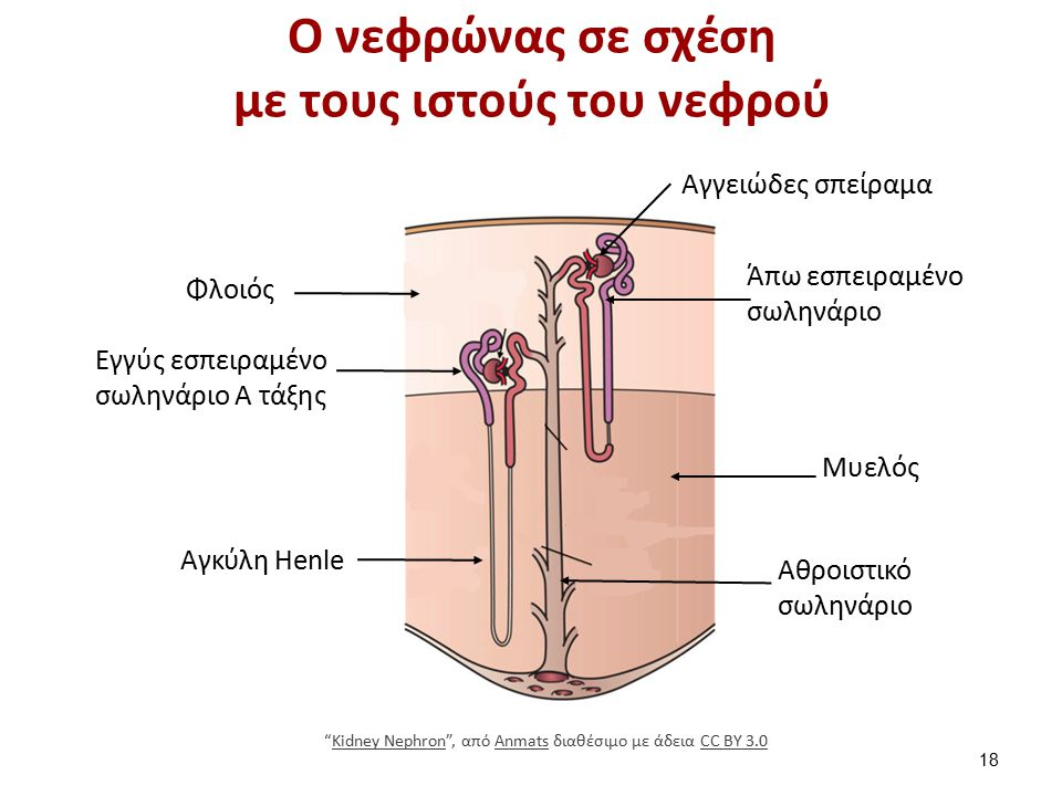 Οι τρεις φυσικοχημικές διαδικασίες του νεφρώνα