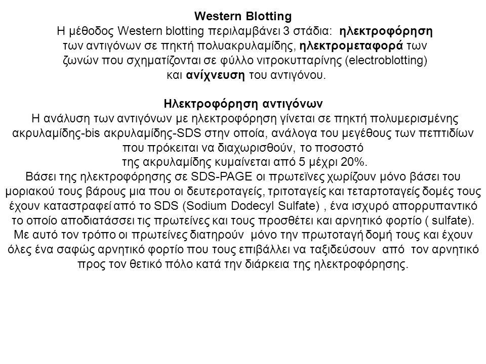 Η μέθοδος Western blotting περιλαμβάνει 3 στάδια: ηλεκτροφόρηση