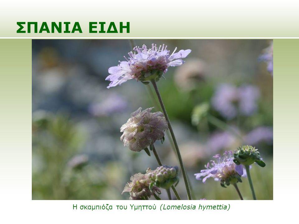 ΣΠΑΝΙΑ ΕΙΔΗ Η σκαμπιόζα του Υμηττού (Lomelosia hymettia)