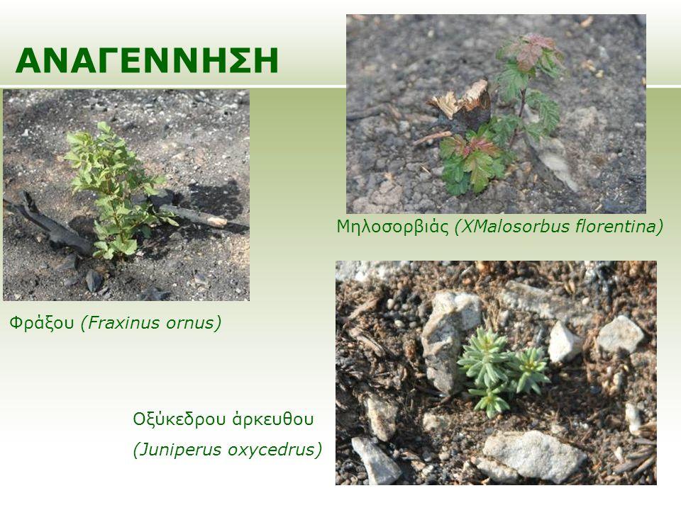 ΑΝΑΓΕΝΝΗΣΗ Μηλοσορβιάς (XMalosorbus florentina)