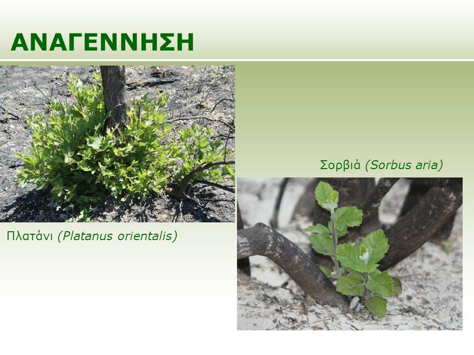 ΑΝΑΓΕΝΝΗΣΗ Σορβιά (Sorbus aria) Πλατάνι (Platanus orientalis)