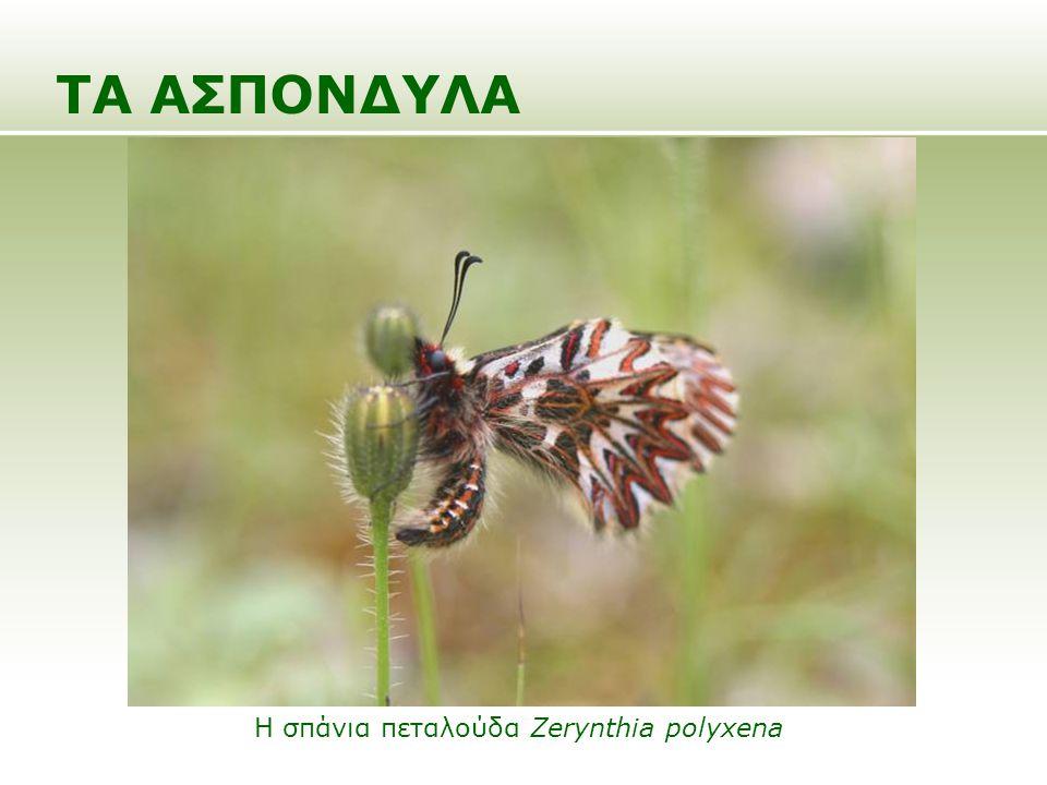 ΤΑ ΑΣΠΟΝΔΥΛΑ Η σπάνια πεταλούδα Zerynthia polyxena