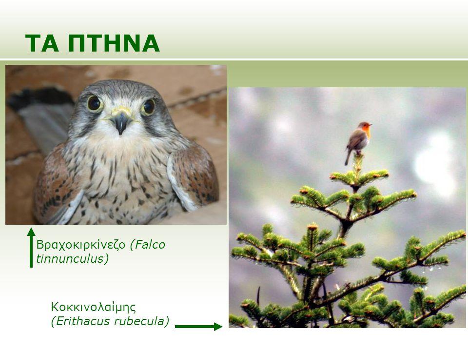 ΤΑ ΠΤΗΝΑ Βραχοκιρκίνεζο (Falco tinnunculus)