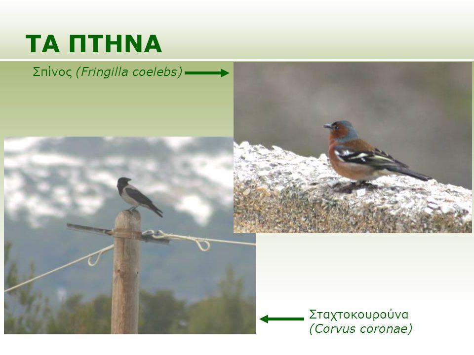 ΤΑ ΠΤΗΝΑ Σπίνος (Fringilla coelebs) Σταχτοκουρούνα (Corvus coronae)
