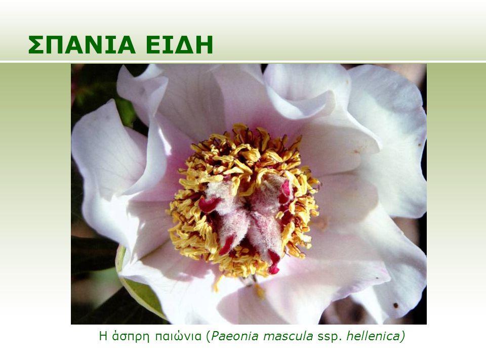 ΣΠΑΝΙΑ ΕΙΔΗ Η άσπρη παιώνια (Paeonia mascula ssp. hellenica)
