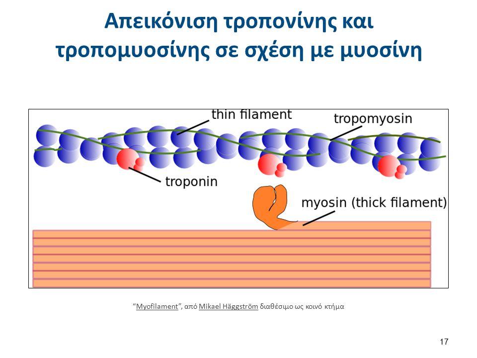 Δράση μυοσίνης ακτίνης