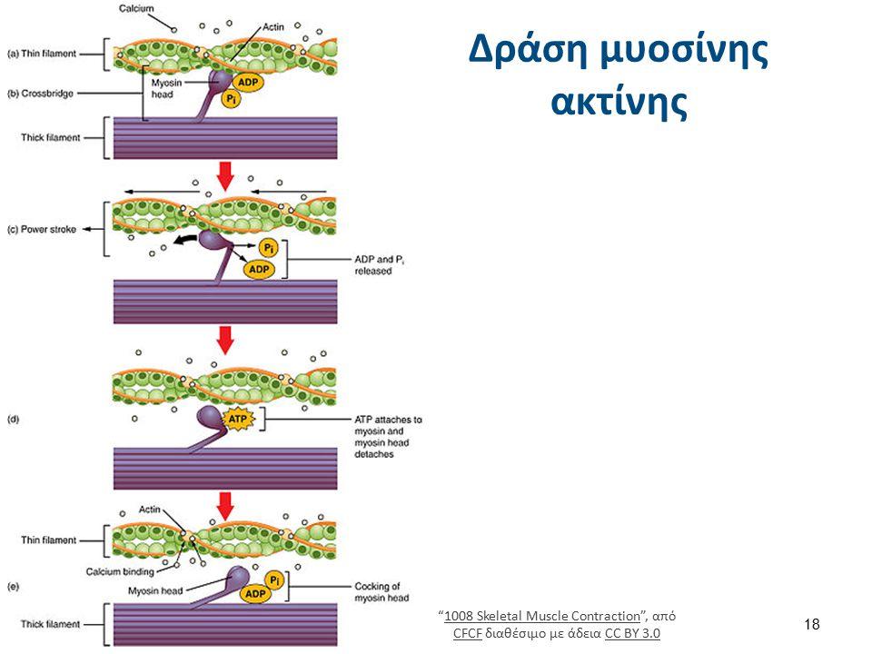 Δέσμευση της τροπομυοσίνης στην ακτίνη