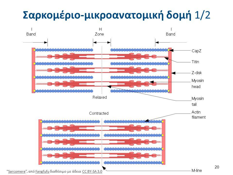 Σαρκομέριο-μικροανατομική δομή 2/2