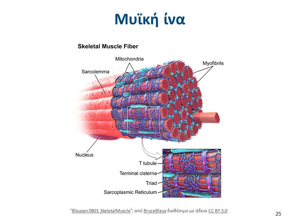 Δυναμικό μυών Το δυναμικό των μυών είναι -90 mV. Διαρκεί 2-4 msec.