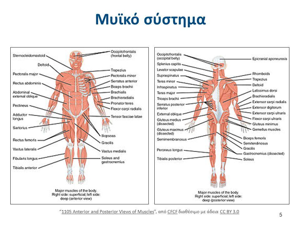 Μακρο- και μικρο-ανατομία σκελετικού μυός