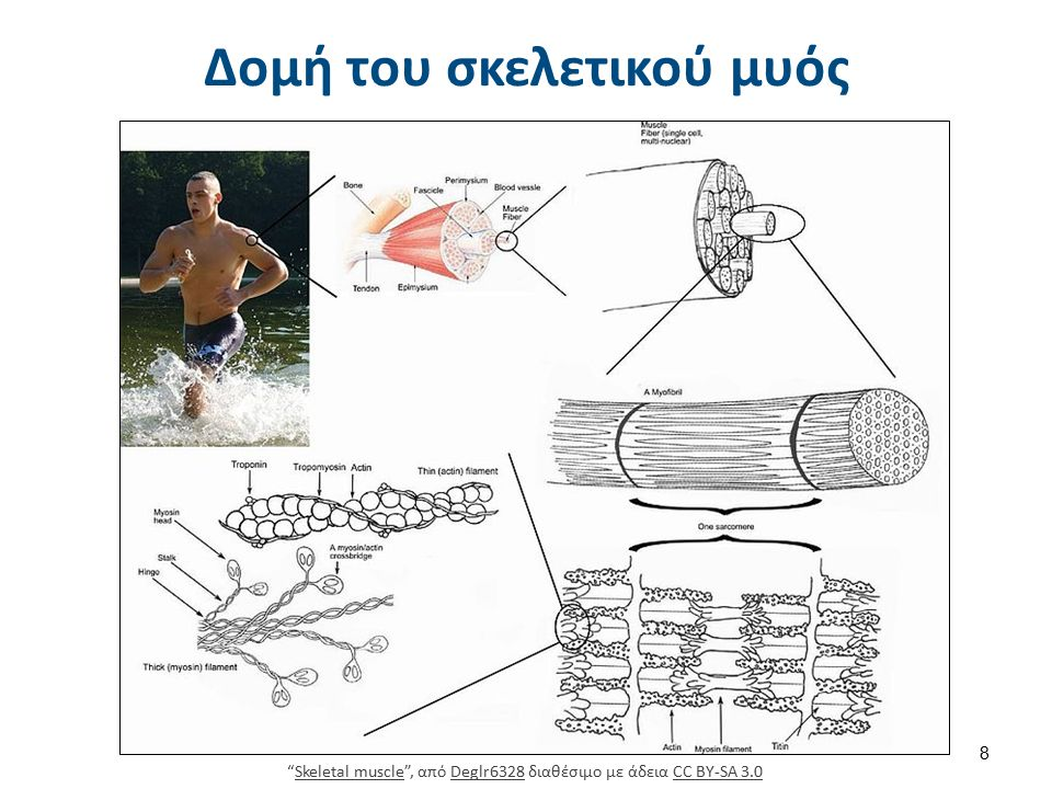 Γραμμώσεις μυών