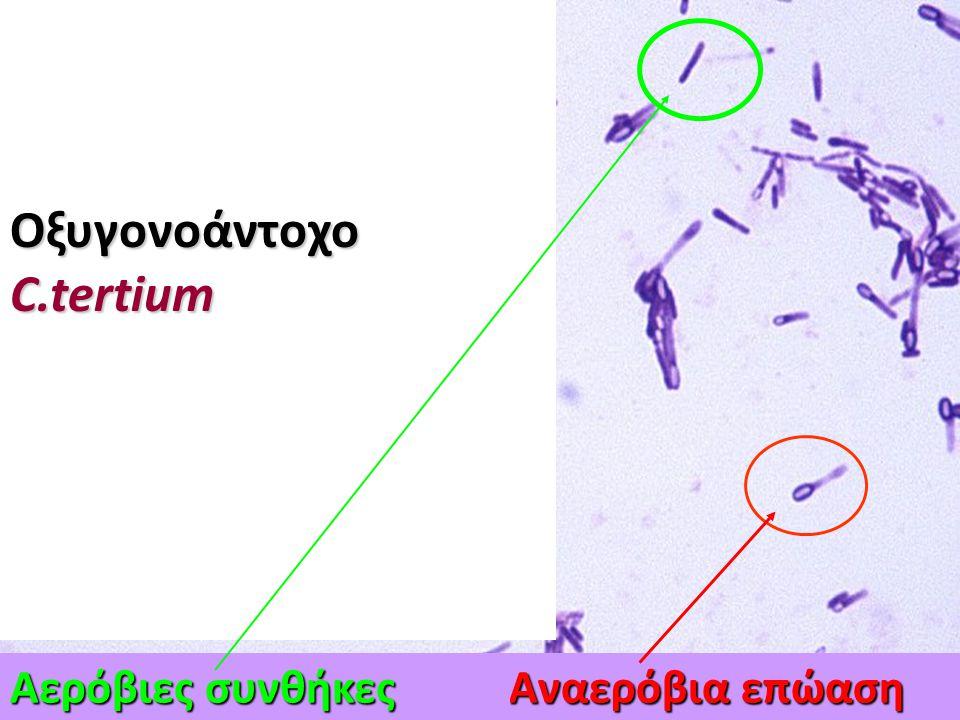 Οξυγονοάντοχο C.tertium Αερόβιες συνθήκες Αναερόβια επώαση
