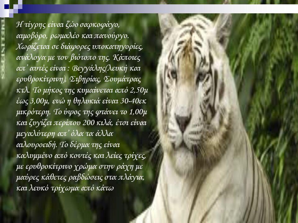 Η τίγρης είναι ζώο σαρκοφάγο, αιμοβόρο, ρωμαλέο και πανούργο