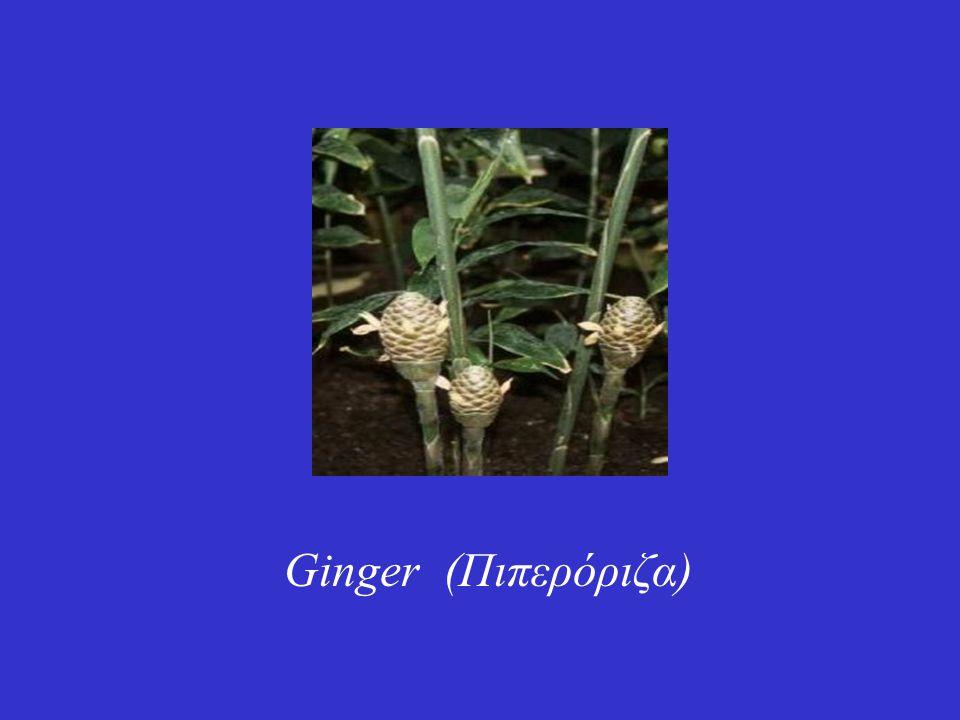 Ginger (Πιπερόριζα)