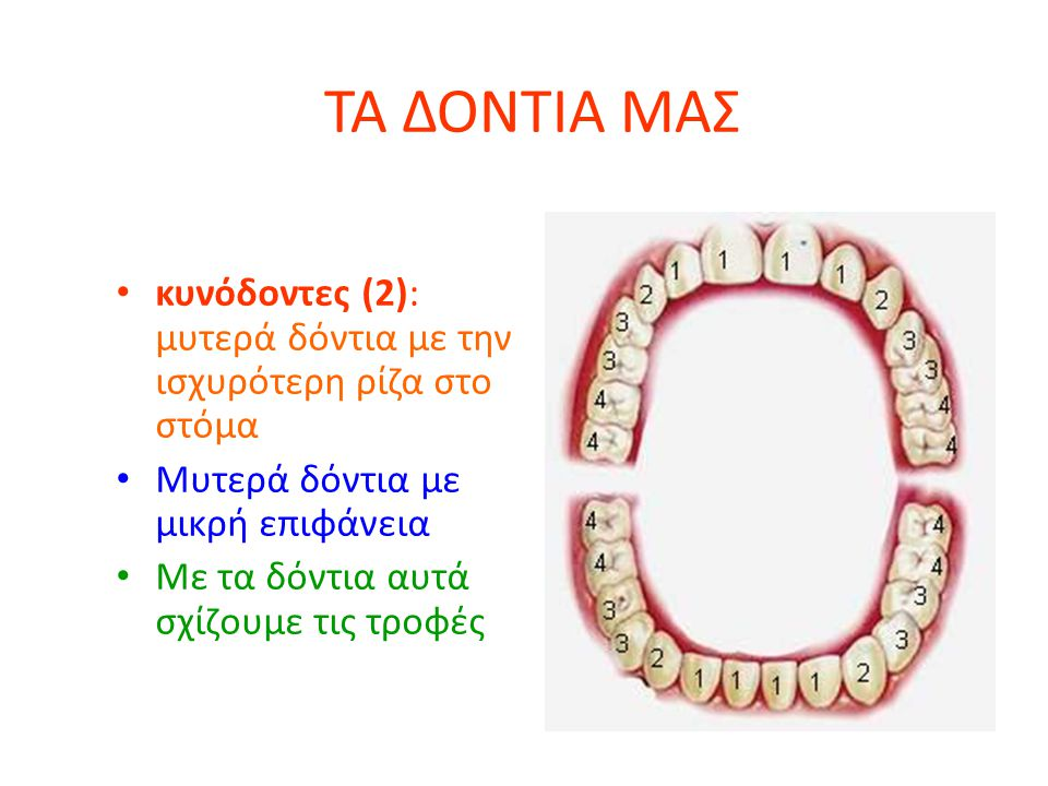 ΤΑ ΔΟΝΤΙΑ ΜΑΣ κυνόδοντες (2): μυτερά δόντια με την ισχυρότερη ρίζα στο στόμα. Μυτερά δόντια με μικρή επιφάνεια.