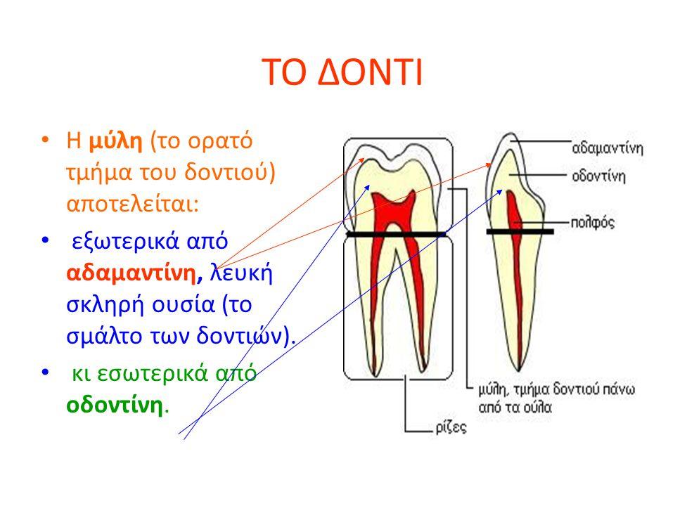 ΤΟ ΔΟΝΤΙ Η μύλη (το ορατό τμήμα του δοντιού) αποτελείται: