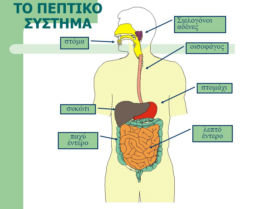 ΤΟ ΠΕΠΤΙΚΟ ΣΥΣΤΗΜΑ Σιελογόνοι αδένες στόμα οισοφάγος στομάχι συκώτι