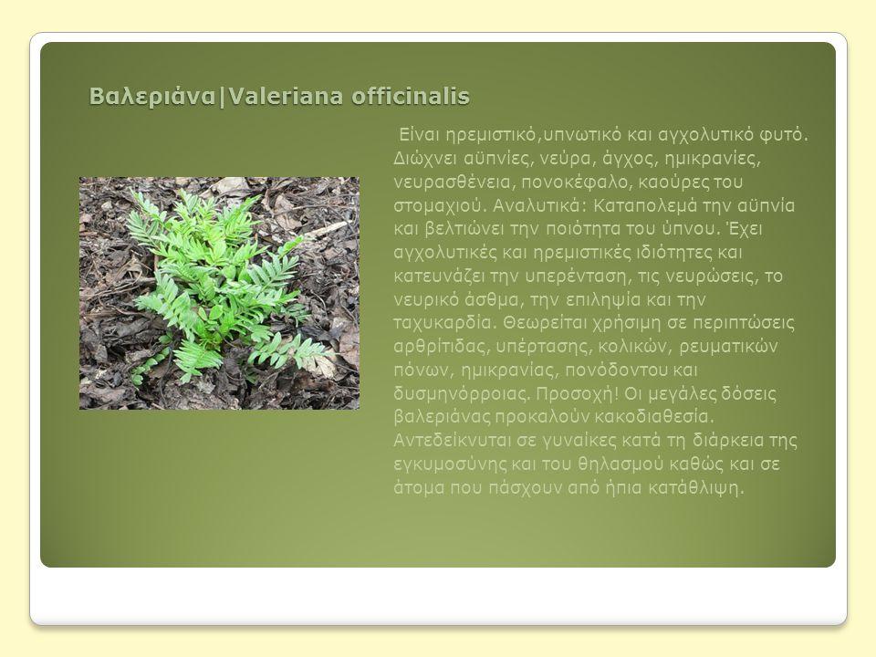 Βαλεριάνα|Valeriana officinalis