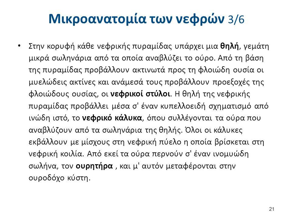 Μικροανατομία των νεφρών 4/6