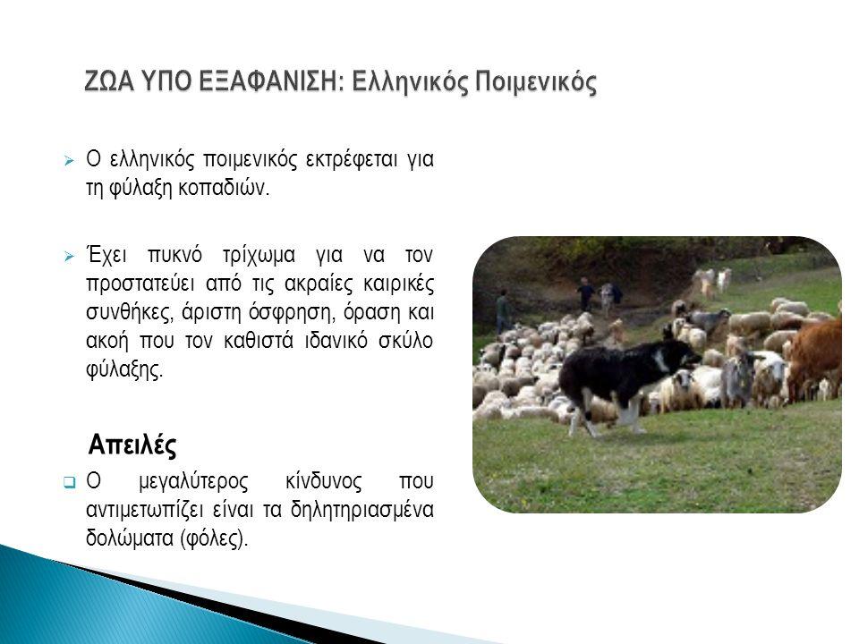 ΖΩΑ ΥΠΟ ΕΞΑΦΑΝΙΣΗ: Ελληνικός Ποιμενικός
