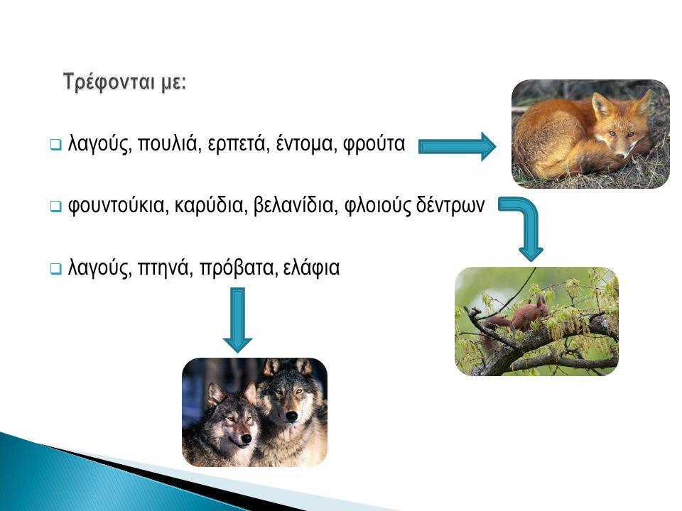 Τρέφονται με: λαγούς, πουλιά, ερπετά, έντομα, φρούτα. φουντούκια, καρύδια, βελανίδια, φλοιούς δέντρων.