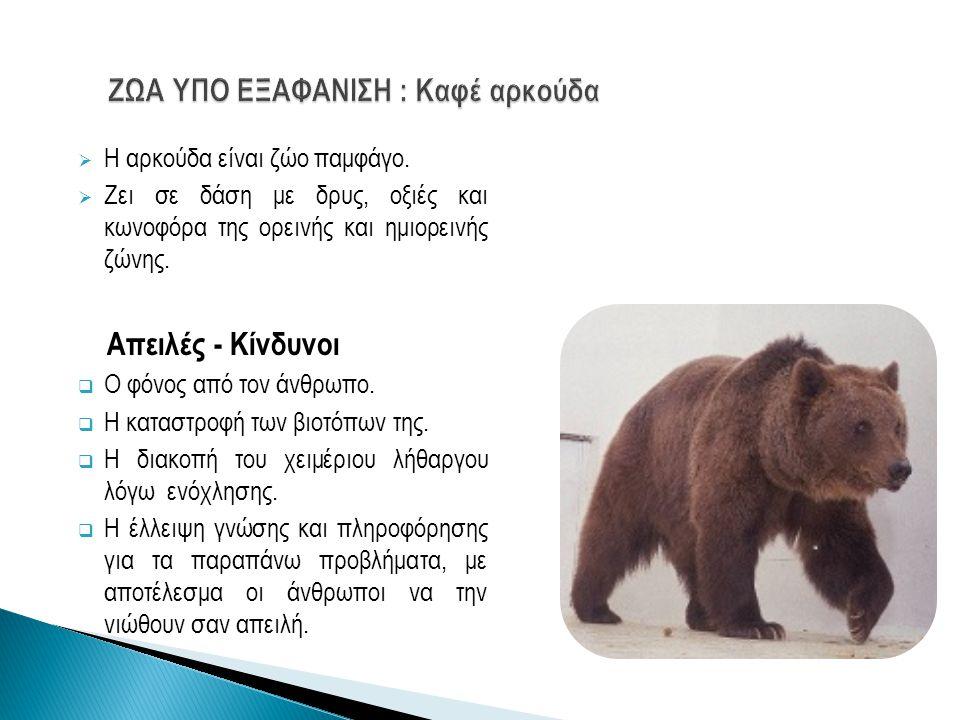 ΖΩΑ ΥΠΟ ΕΞΑΦΑΝΙΣΗ : Καφέ αρκούδα